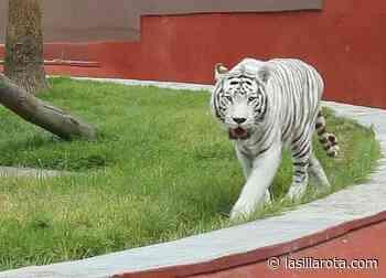 """Enferma """"Ragú"""", el Tigre Blanco de Zoológico de Aragón; su salud está delicada - La Silla Rota"""