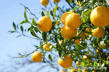 El precio en origen del limón cae un 26,3% antes de comenzar la nueva campaña - Valencia fruits