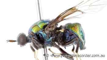 'Drag queen' fly among newly named species | The Recorder | Port Pirie, SA - The Recorder