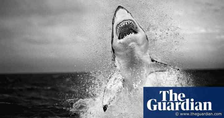 A flying great white shark: Chris Fallows' best photograph