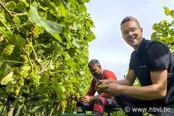 """Kwart minder Limburgse wijn door natte zomer, """"maar dat zegt niets over de kwaliteit"""" - Het Belang van Limburg"""