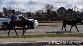 VIDEO   Dos caballos sueltos cruzan Monte Grande y no pueden capturarlos: paralizaron la Ruta 205 - El Diario Sur