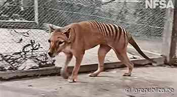 Publican imágenes de Benjamín, el último tigre de Tasmania que habitó la tierra - La República Perú