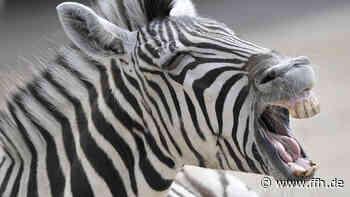 Schwalmstadt: Virtuelle wilde Tiere in der City - HIT RADIO FFH