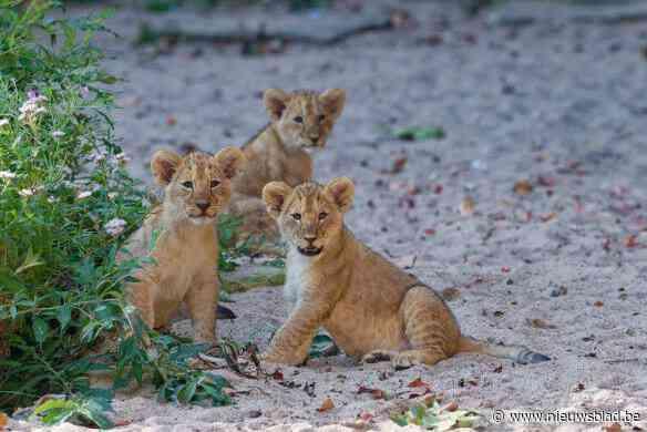 Schattig: leeuwenwelpjes mogen eindelijk op ontdekkingstocht in Antwerpse zoo