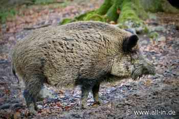 """""""Pseudowut"""" bei Wildschwein festgestellt: Virus im Kreis Landsberg: Tödlich für Hunde und Katzen - Landsberg - all-in.de - Das Allgäu Online!"""