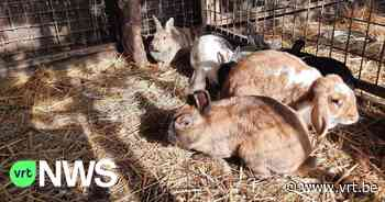 56 verwaarloosde kippen en konijnen in beslag genomen in Balen - VRT NWS