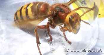 Killer Asian hornets nest found on UK soil for the first time with locals warned