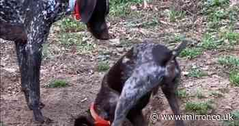Fed up German pointer shoves puppy brother into it hole he's just dug