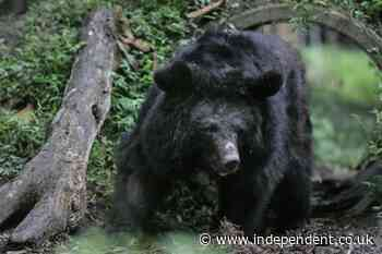 Bear euthanised in Colorado after it enters home and traps family for 45 minutes