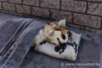 """Roofvogel doodt chihuahua in Zandhoven: """"Denk dat het een ontsnapte arend was"""""""