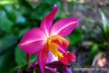 Invitan a Expo venta Orquídeas en Xalapa   PalabrasClaras.mx - PalabrasClaras.mx