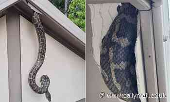 Terrifying moment a python breaks through the roof of a Queensland couple's snake-proofed home
