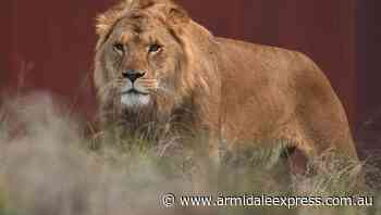 Lions, tigers in COVID recovery at US zoo - Armidale Express