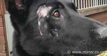 Heroic police dog slashed 20 times with machete during arrest recognised for bravery