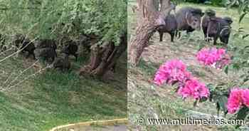 Guadalupe. Familia de jabalíes es captada en colonia Contry La Silla - Multimedios