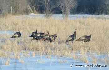 Gravenhurst man fined $2,000 for illegal turkey hunting - BayToday.ca