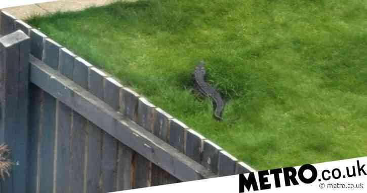 Woman's shock after 'spotting 4ft crocodile' in neighbour's back garden