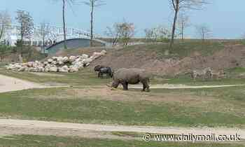 Female rhino drowns after slipping into a watering hole while being chased at Dutch zoo