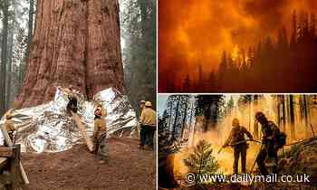 California firefighters battle to protect ancient sequoia groves General Sherman wrapped in aluminum