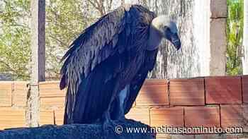 Abutre-fouveiro debilitado e incapaz de voar recuperado em Palmela - Notícias ao Minuto