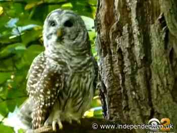 Beloved Central Park owl Barry could have been killed with rat poison