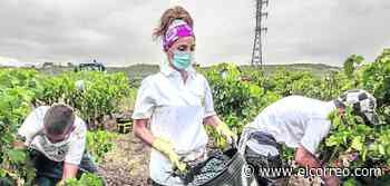 Rioja Alavesa abre la vendimia con menos uva y temor a un exceso de lluvia - El Correo