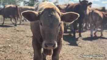 Prairie ranchers take stock of summer drought as decisions about culling cattle loom