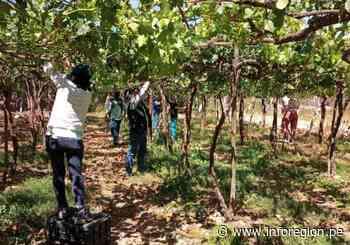 Facilitan tecnología para mejorar exportación de uva de mesa en Moquegua - INFOREGION