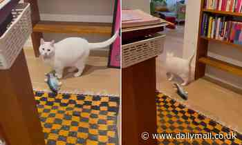 An alarmed house cat captured on camera predicting the earthquake in Victoria while playing with toy