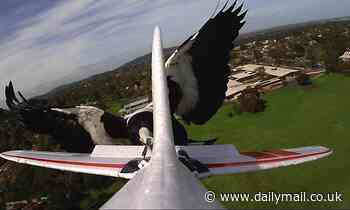Devious bird known for swooping bike riders punished when it flies too close to a drone