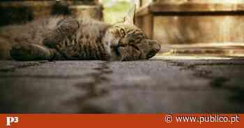 """Os gatos que transmitem """"alguma tranquilidade"""" a quem visita cemitérios no Porto - PÚBLICO"""