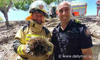 Rockhampton firefighters pose with a cute echidna after rescuing it from a stormwater drain