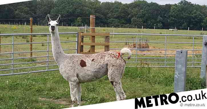 Llama antibodies have 'significant potential' for Covid-19 treatment