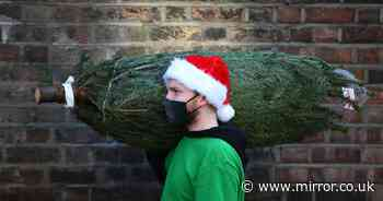 Brits face Christmas without a tree as delivery chaos 'will cause shortages'
