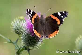 Natuurpunt na Vlindertelling: 'Gazons minder maaien is stevige bonus voor insecten'