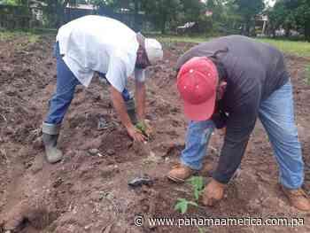 Introducen dos nuevas variedades de yuca en Los Santos - Panamá América
