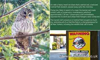 Central Park's owl Barry had 'lethal' levels of rat poison in her body when she was hit by a truck