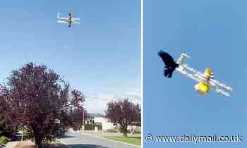 Ravens are attacking drone delivery services in Canberra forcing flights to be paused