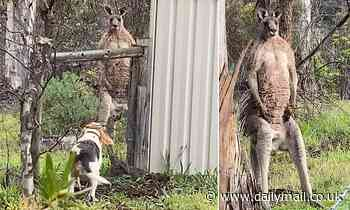 Only in Australia: Brave beagle has tense standoff with buff kangaroo at a backyard in Victoria
