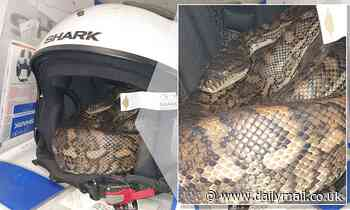 Staff discover a carpet python curled up inside a bike helmet in a motorcycle store in Queensland