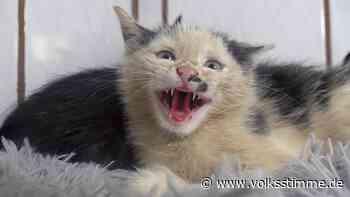 Haldensleben: Vier Katzenbabys über Zaun des Tierheims geworfen - Volksstimme