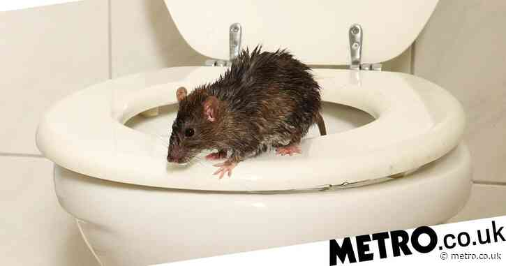 Rats 'as big as cats' now invading homes through toilets