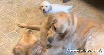 Adorable Golden Retriever puppy tries to wrestle with big sisters but she's too tiny