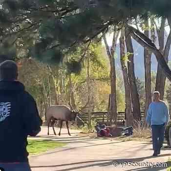 Aggressive Elk Attacks Women In Estes Park While The Men Run Away
