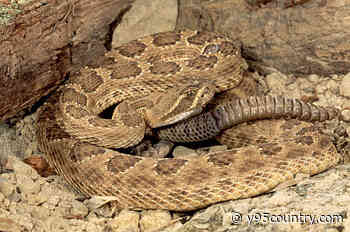 What's The Best Way To Prepare Rattlesnake For Dinner In Wyoming?