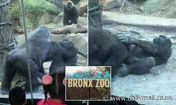Male gorilla shocks onlookers at Bronx Zoo by performing oral sex on his excited female friend