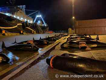 Faroes hunters slaughter dozens of whales just days after largest dolphin massacre