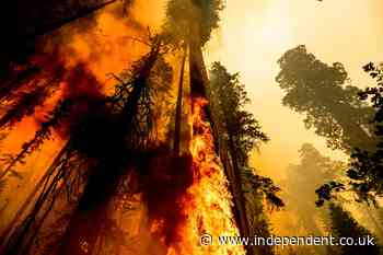 Giant sequoia burns in California wildfire as thousands of firefighters descend to save the ancient trees