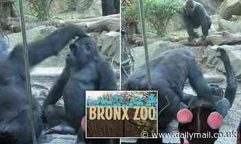 Giant male primate shocks families at Bronx Zoo by performing sex act on his pal
